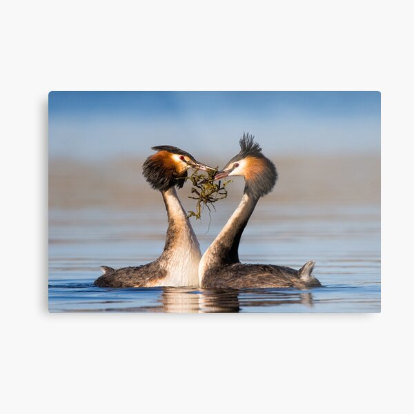 Great Crested Grebes courting Metal Print