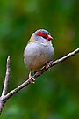 Red-browed Finch by Stuart Robertson Reynolds