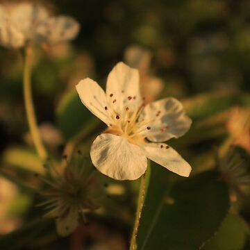 Pear Blossom Flower Macro by MBWright88