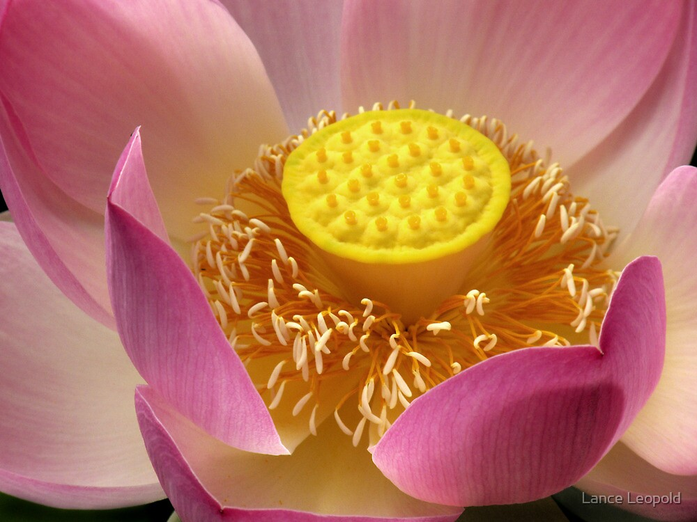 Lotus by Lance Leopold