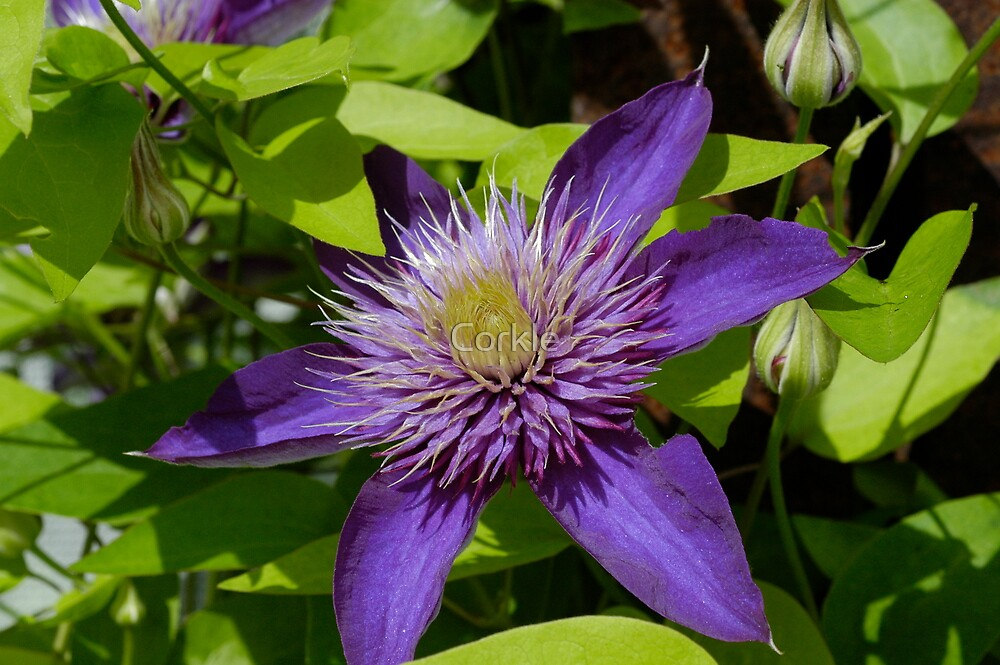 Purple Beauty by Corkle