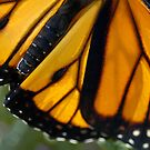 M is for....Closeup of Monarch Wing by Corkle