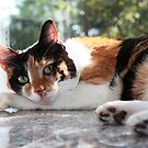 Calico in Sun by Vicki Hudson