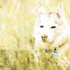 Husky in Yellow Wildflowers by May Finch