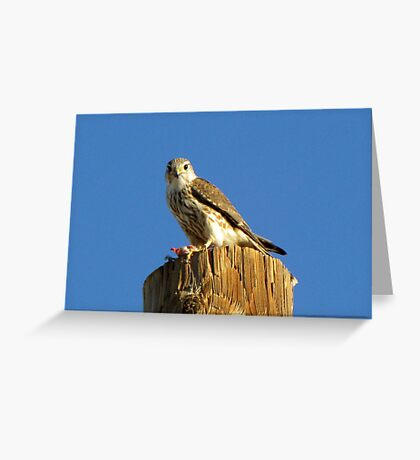 Merlin (Richardsoni) Greeting Card