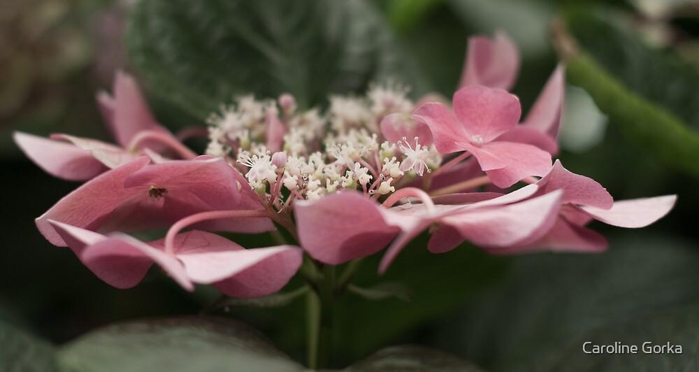 Pink Delight for a Sunday Morning by Caroline Gorka