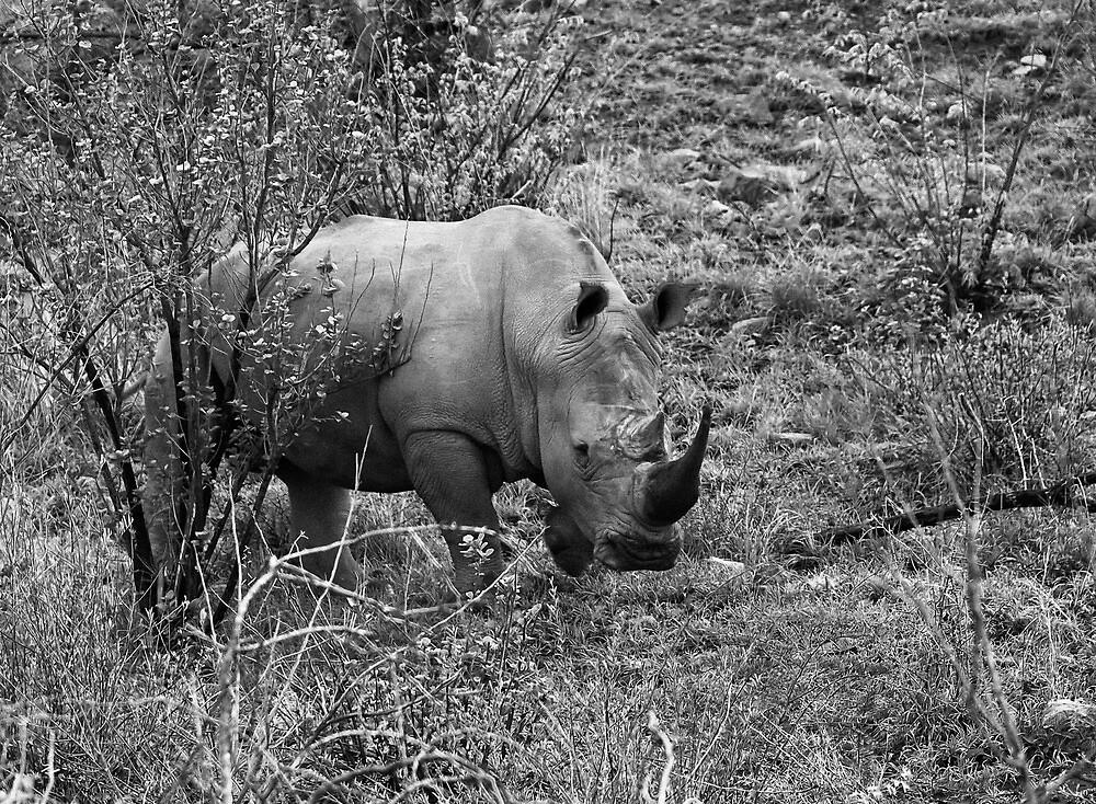 Rhino, Pilanesberg Park, South Africa by Mick Yates