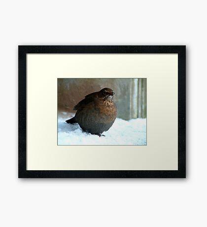 Blackbird (fem) 1 Framed Print