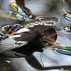 Orchardtail butterfly drinking by valdez