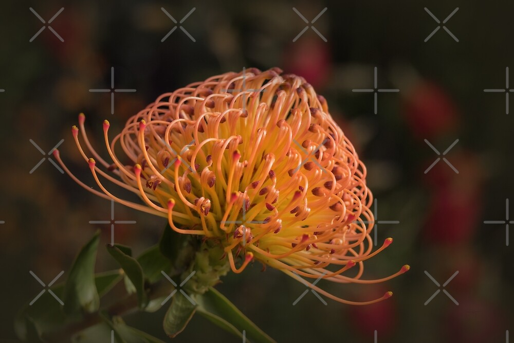 Orange Pincushion Protea ( Leucospermum) by Elaine Teague