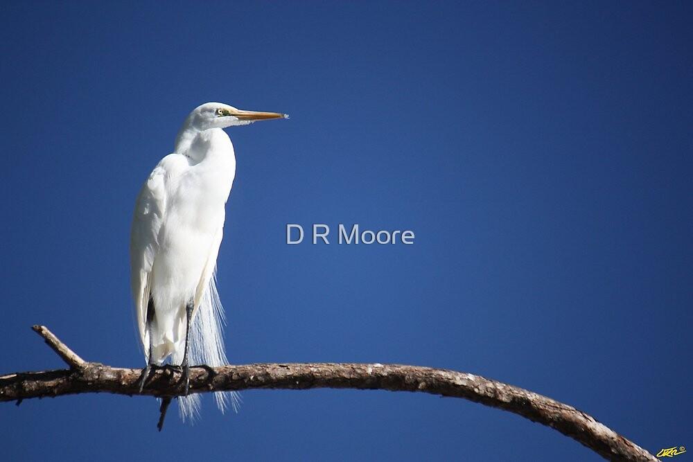 Great Egret II by D R Moore