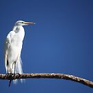 Great Egret II by D R Moore