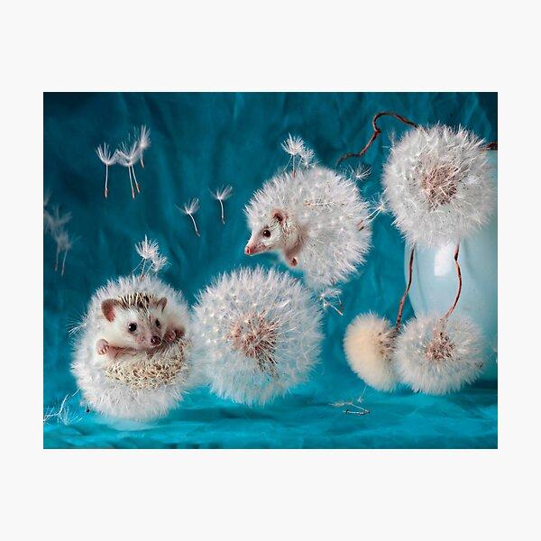 Hedgehogs- dandelions. Photographer Eremina Elena. Photographic Print