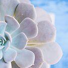 Echeveria by OLIVIA JOY STCLAIRE