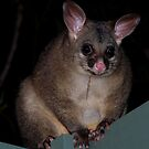 Brushtail Possum by Michael Rowley