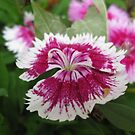 Dianthus Among Us by Sprinkle