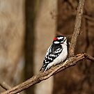 Downy Woodpecker on a Branch by AriasPhotos