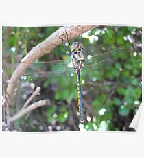 Dragonfly in Cleland Poster