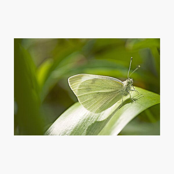 Butterfly Dreaming Photographic Print