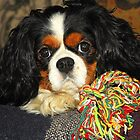 Cavalier King Charles Spaniel at Rest by Billlee
