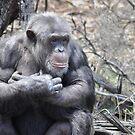 Chimp by Princessbren2006