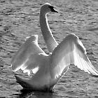 Swan Bathing b&w  by henuly1
