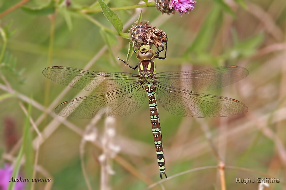 Southern Hawker dragonfly by Hugh J Griffiths