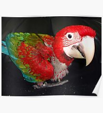 macaw 10 weeks Poster