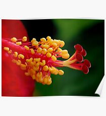 Red Hibiscus Center Poster