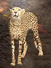 Cheetah Magic by Veronica Schultz