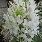 White petals by Ana Belaj