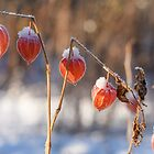 Winter Cherry under the Snow by denis-romanov
