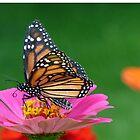 Regal Monarch by FrankieCat