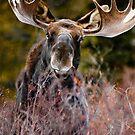 Moose in Cucumber Gulch by Josh Dayton