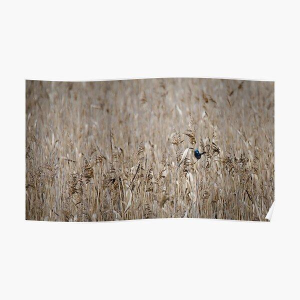Wren in the Grass - Tamar River, Tasmania Poster