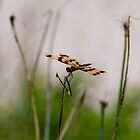 Dragonfly Gently Settled by kwill