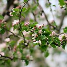 Apple Blossoms by AbigailJoy