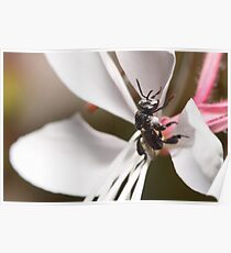 Australian Native Bee Poster