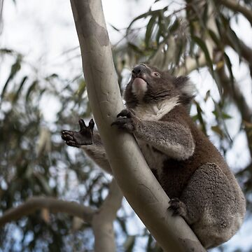 Koala with Front Paw Open Ready to Grip by imaginethis