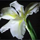 SIMPLICITY - THE WATER IRIS IN WHITE - WATER IRIS by Magriet Meintjes