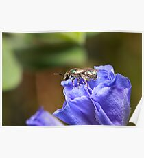 Sweat Bee Poster