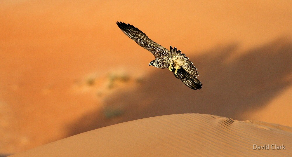 Peregrine on the hunt by David Clark