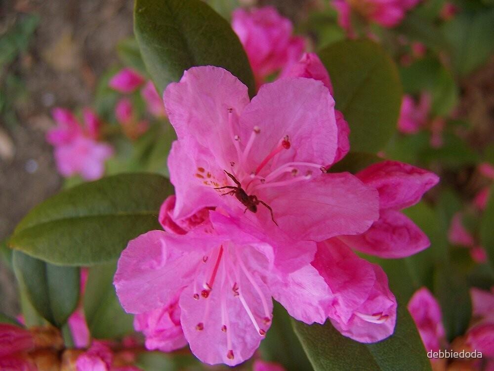 Spider 0n Pink Flowers by debbiedoda