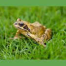 Common frog by Dave  Knowles