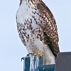 Red-Tailed Hawk by Gary Lengyel