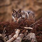 Grey Wolf by rawshutterbug