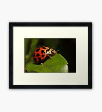 Lady beetle on a leaf Framed Print