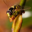 Hoverfly resting by Andrew Durick