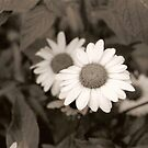 black and white daisies by rue2