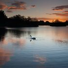 sunset swan by codaimages
